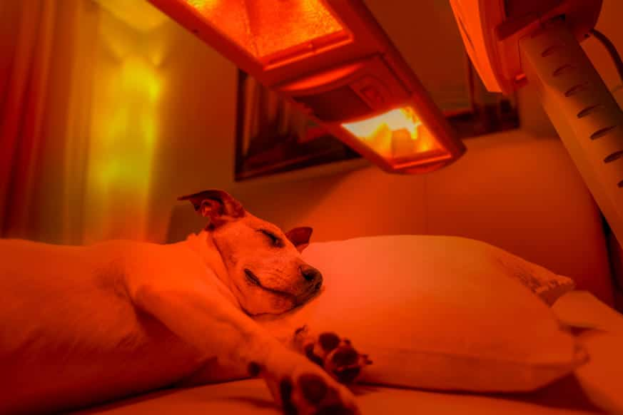 Red Light Therapy For Animals The Pain Free Way